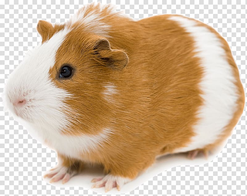 image black and white library Brown clipart guinea pig. And white abyssinian pocket