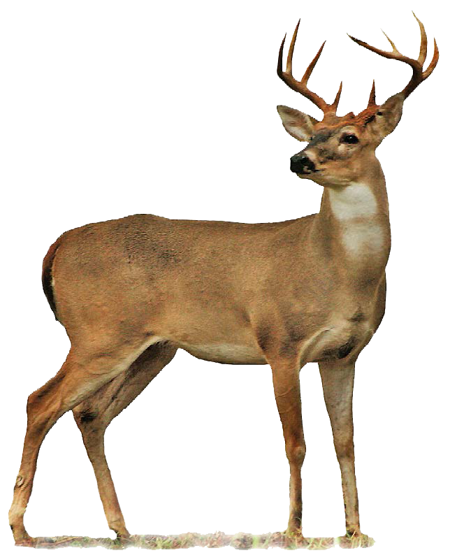png transparent library Buck clipart whitetail deer. Full body drawings png