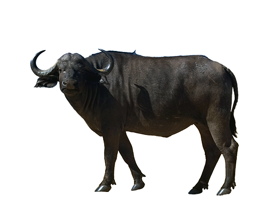 clipart free library Buffalo clipart carabao. Png free on dumielauxepices