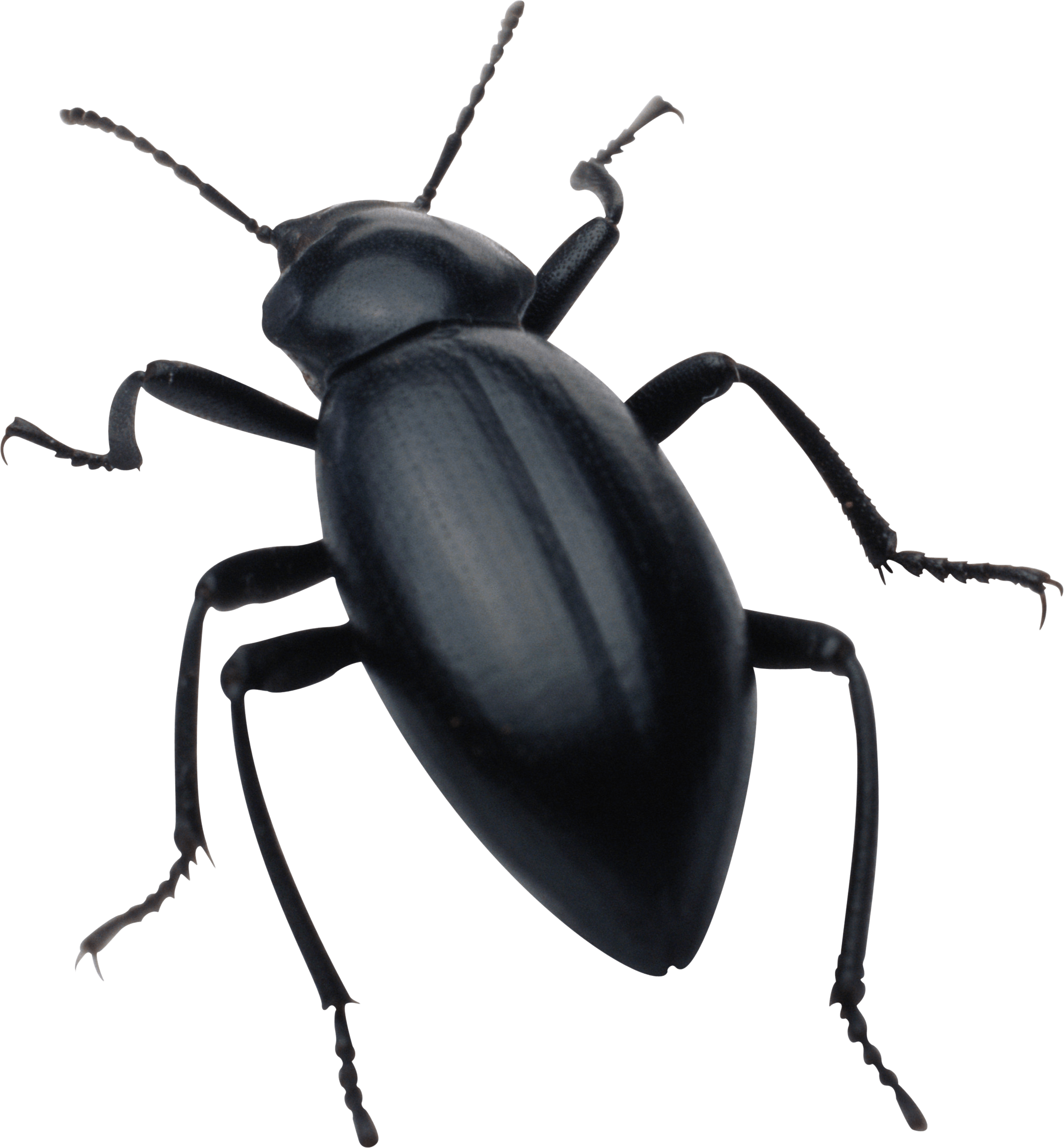 clip free library Black transparent png stickpng. Bug clipart darkling beetle
