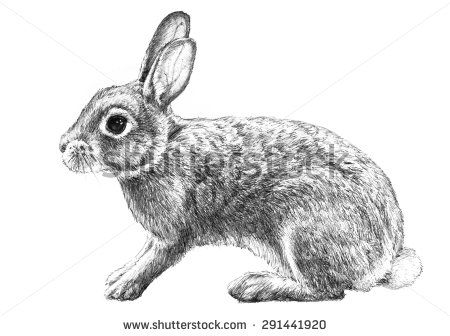 vector black and white Cottontail illustration hand drawn. Bunnies clipart wild rabbit.