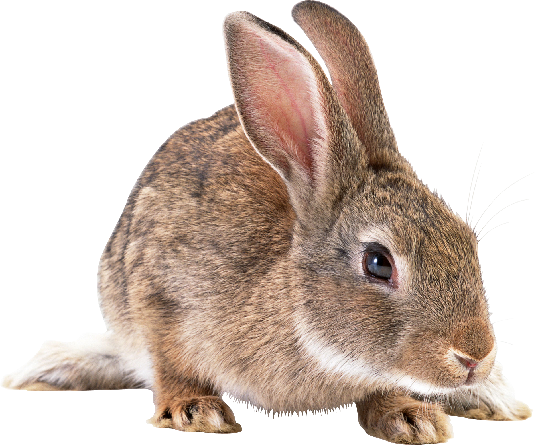 clipart free Png images free pictures. Bunnies clipart wild rabbit.