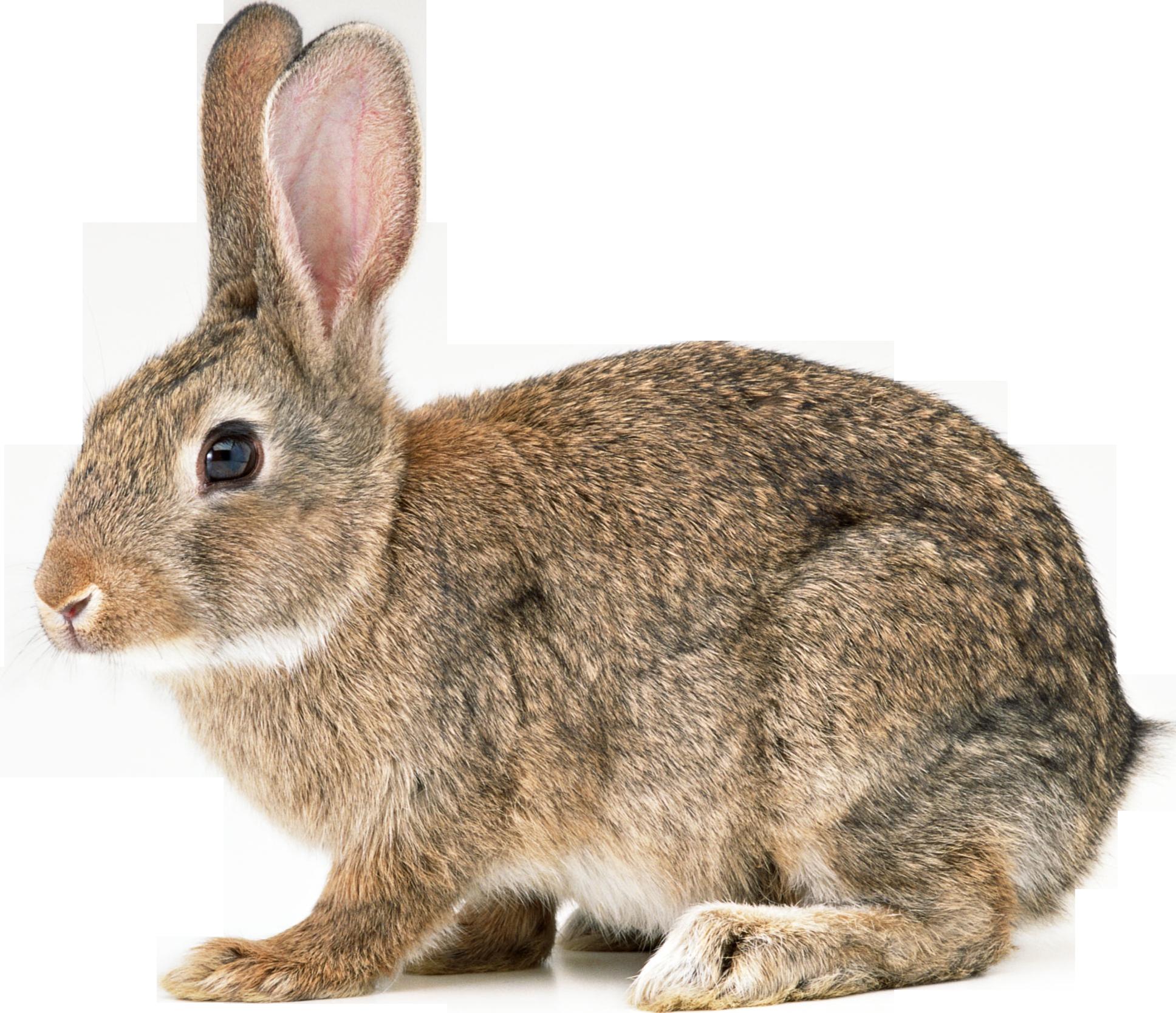 picture transparent download Png bunny love pinterest. Bunnies clipart wild rabbit.