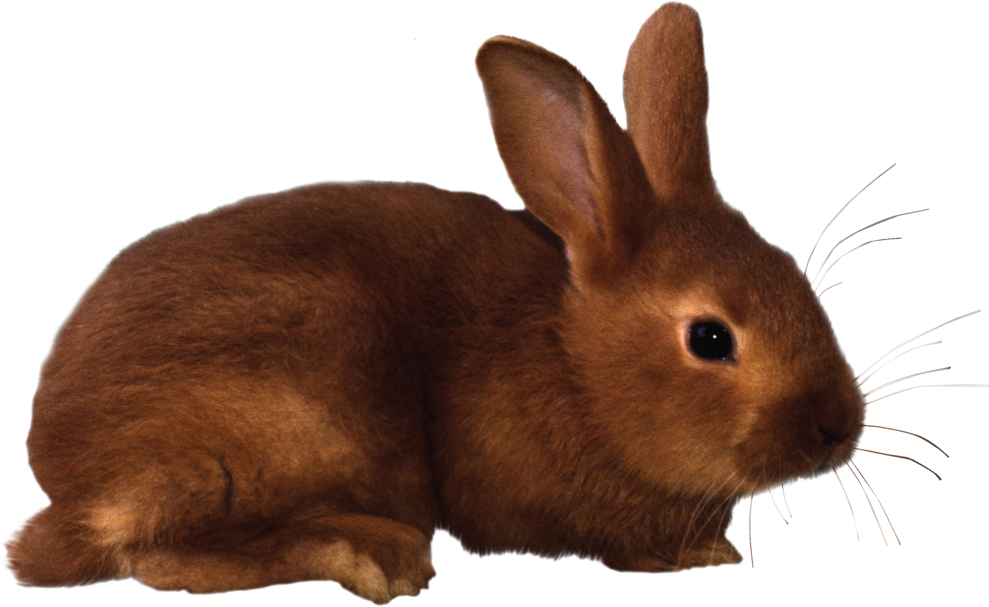 image freeuse download Bunnies clipart wild rabbit. Png images free pictures.