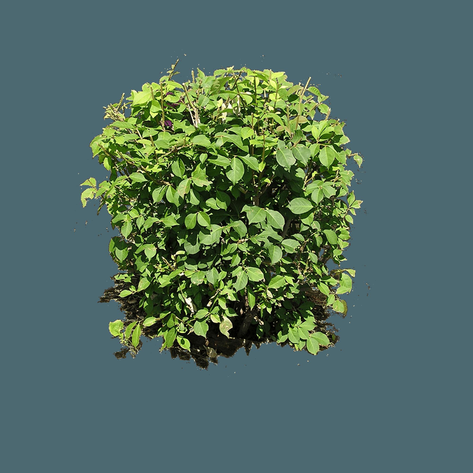 image royalty free Hedges small bush free. Bushes clipart azalea.