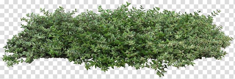 image freeuse stock Bushes clipart architectural. Populus nigra plant shrub.