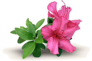clipart royalty free library Grower direct flowers and. Bushes clipart azalea.