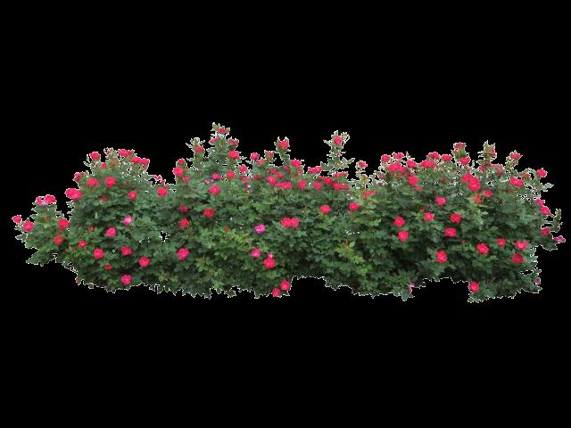vector transparent Free on dumielauxepices net. Bushes clipart azalea.