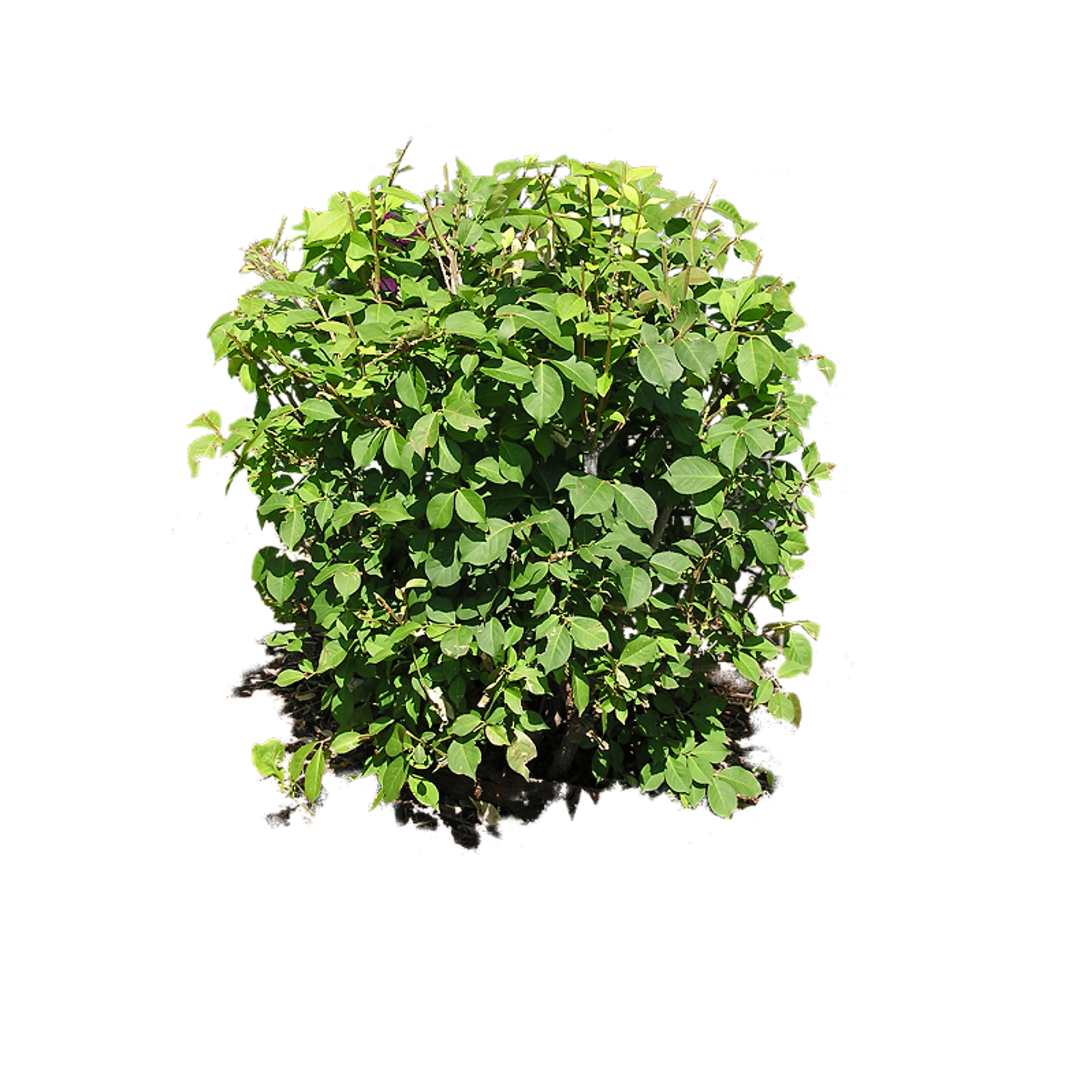 image Vector bushes green bush. Plant png image plants