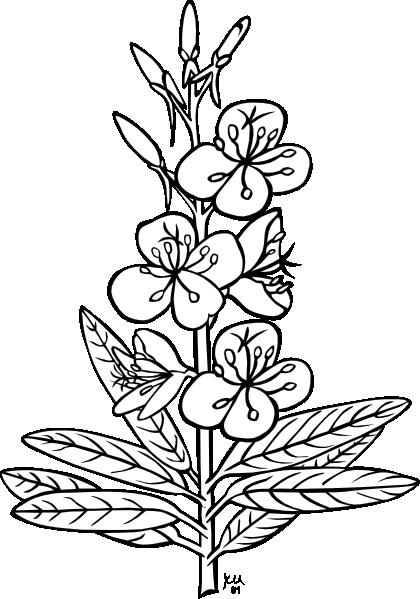vector free stock Ku Epilobium Angustifolium Outline Clip Art at Clker