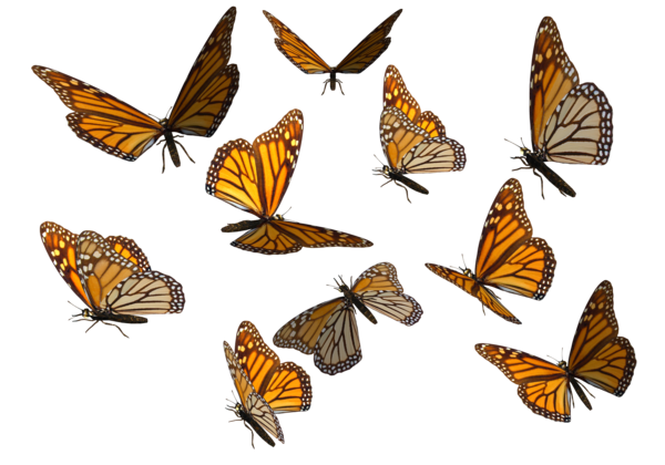 jpg freeuse stock Monarch butterfly png by. Butterflies clipart