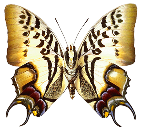 clip art library stock Png transparent real butterfly. Moth clipart realistic.
