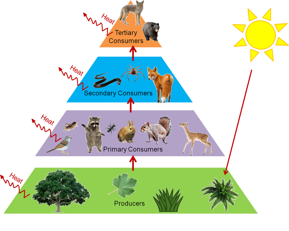 banner library Food web clipart. Predator secondary consumer free