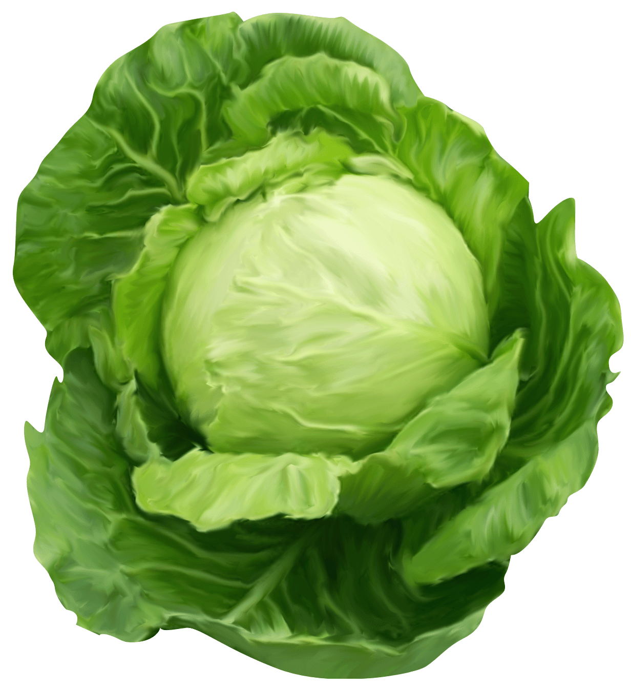 clip free download Health benefits of pinterest. Cabbage clipart letus.