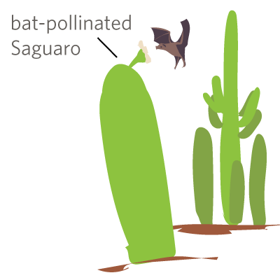 jpg freeuse stock Its week on inaturalist. Cactus clipart cholla.