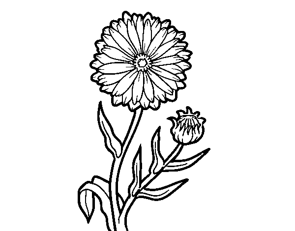 clip art black and white stock Calendula Flower Drawing at GetDrawings