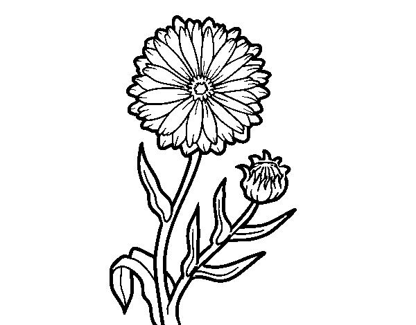 svg transparent Calendula flower at getdrawings. Marigolds drawing.