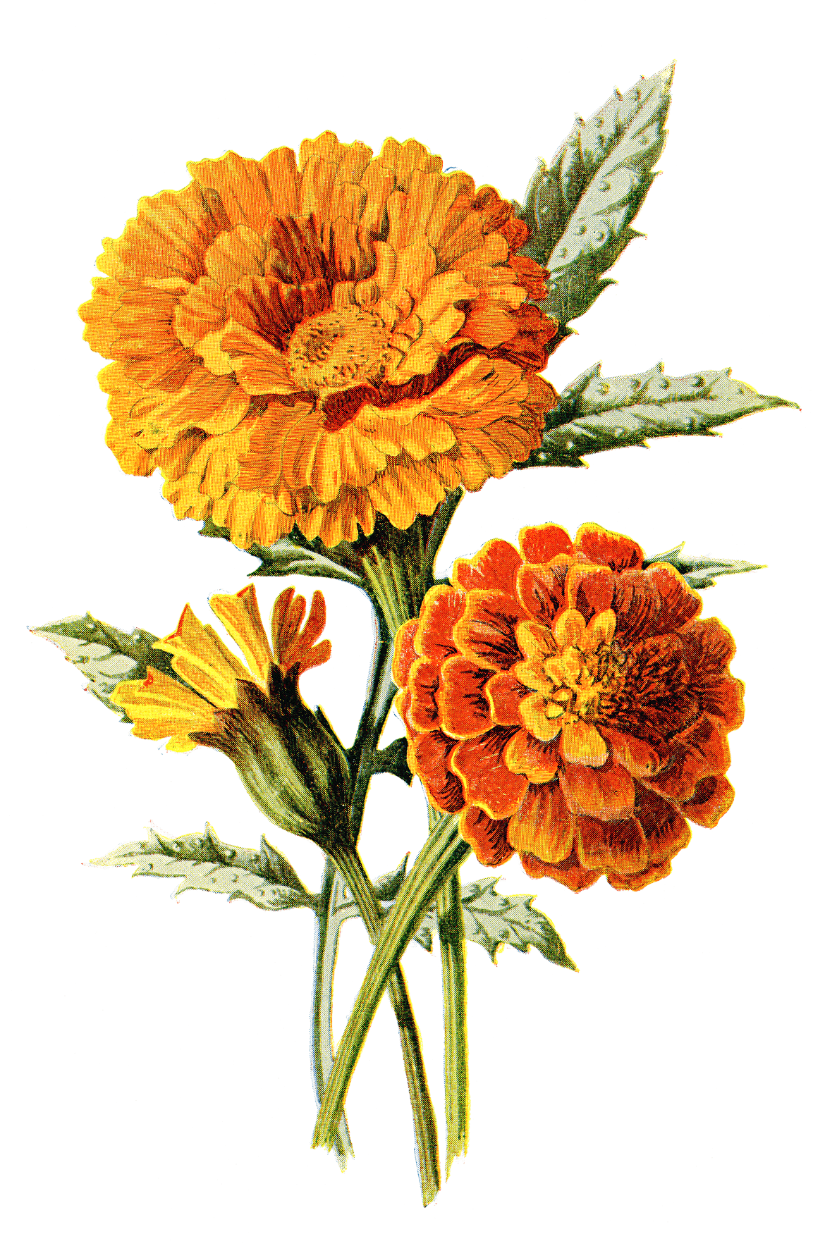 clipart freeuse stock Marigolds drawing. Mexican marigold flower calendula.