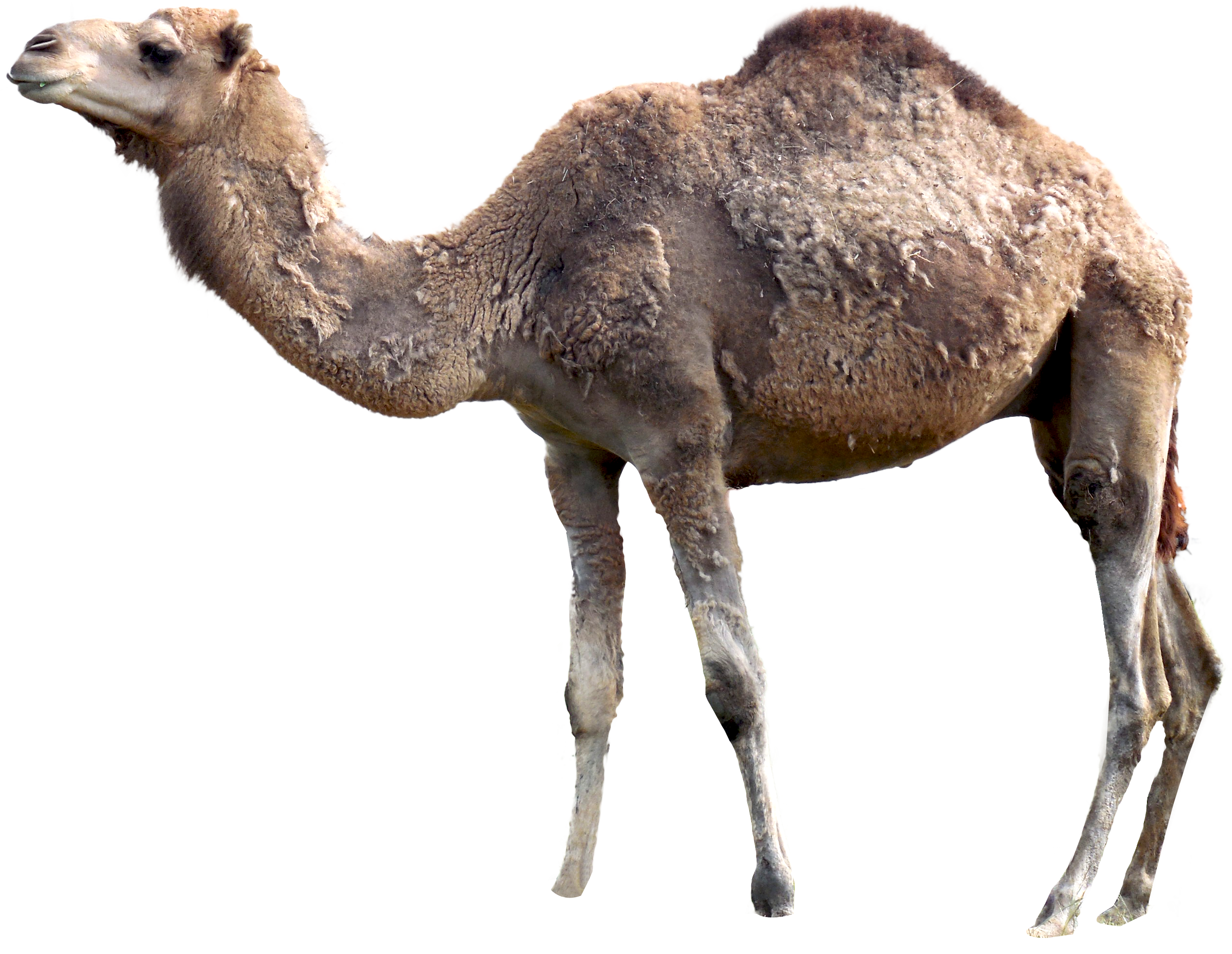 clipart freeuse Png image free pictures. Camel clipart adaption.