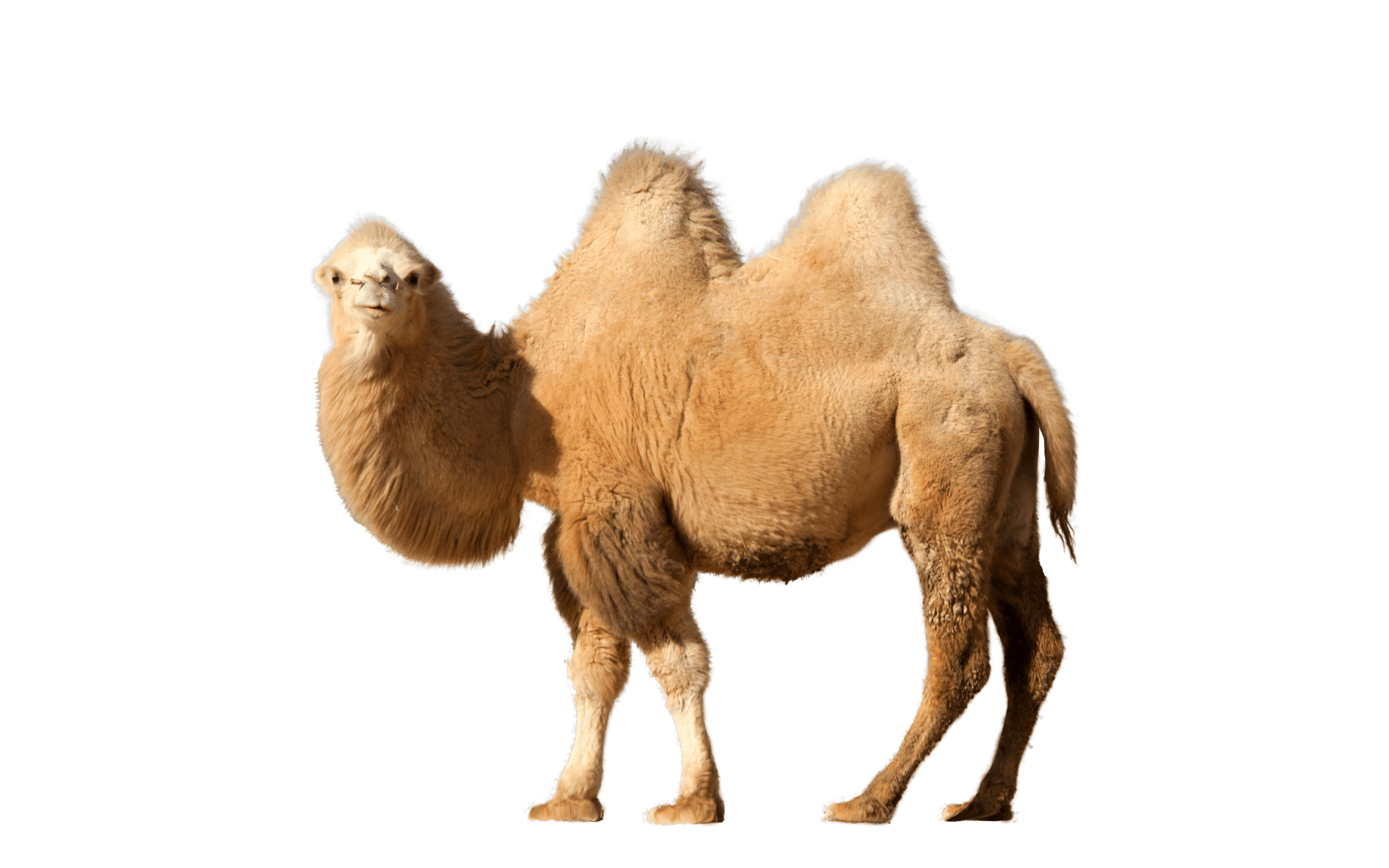 picture transparent stock Camel clipart adaption. Single transparent png stickpng.
