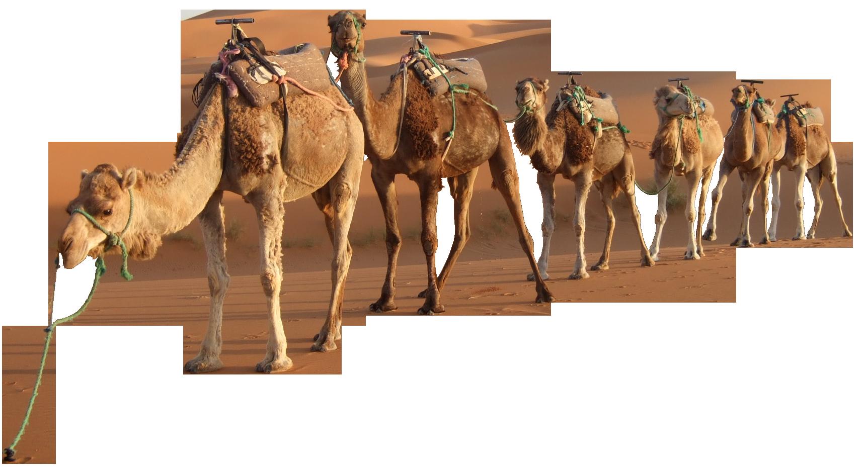 picture freeuse download camel vector desert rajasthan #91192324