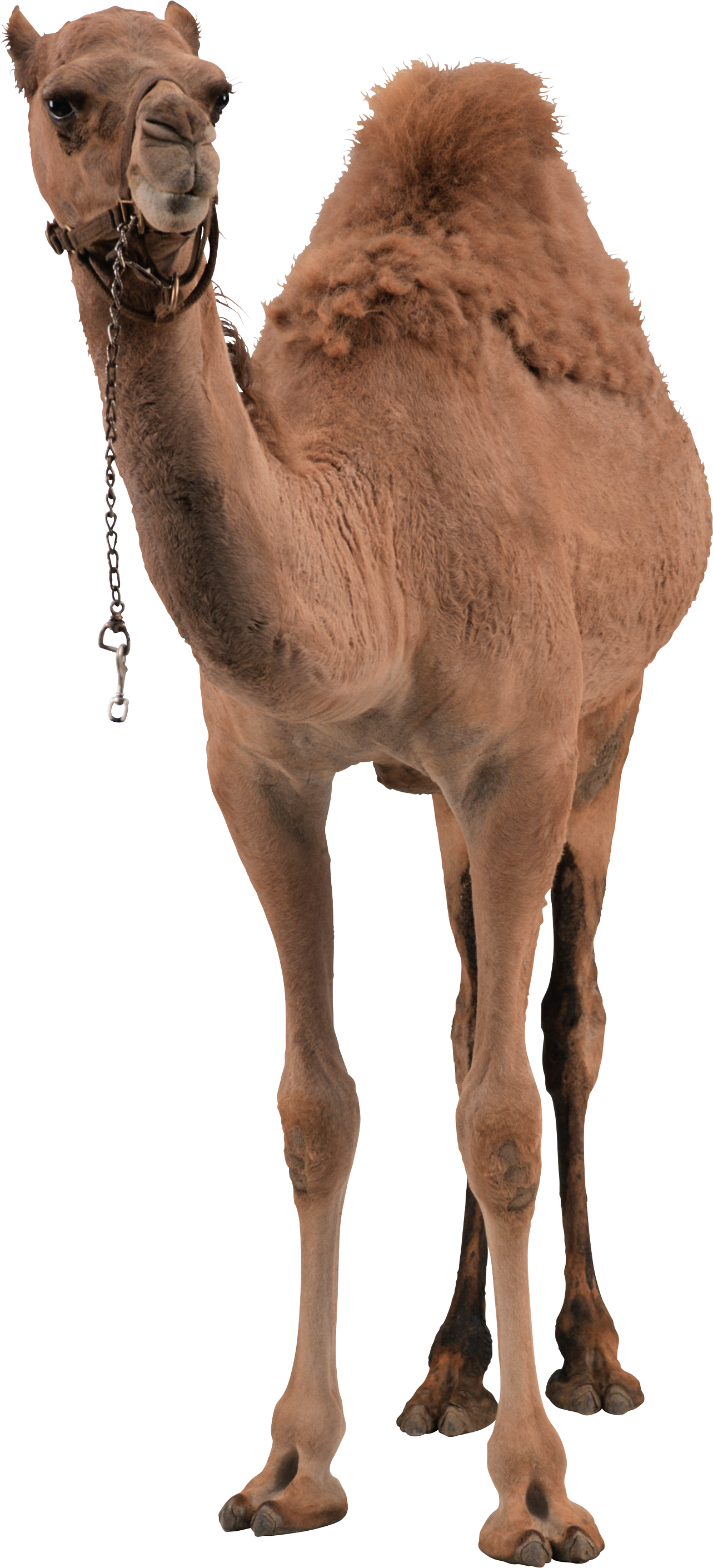 png free stock camel vector hump day #91195614