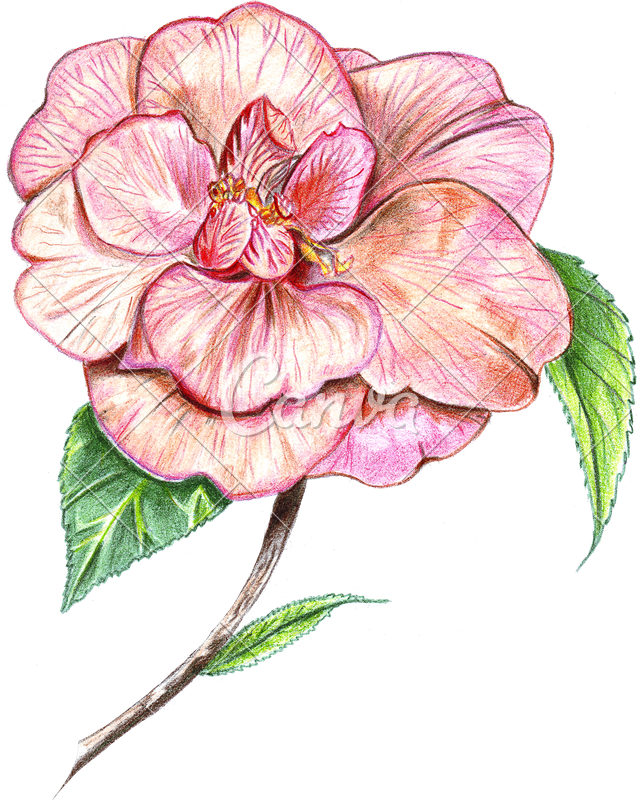 clip library stock Hand of colored photos. Camellia drawing