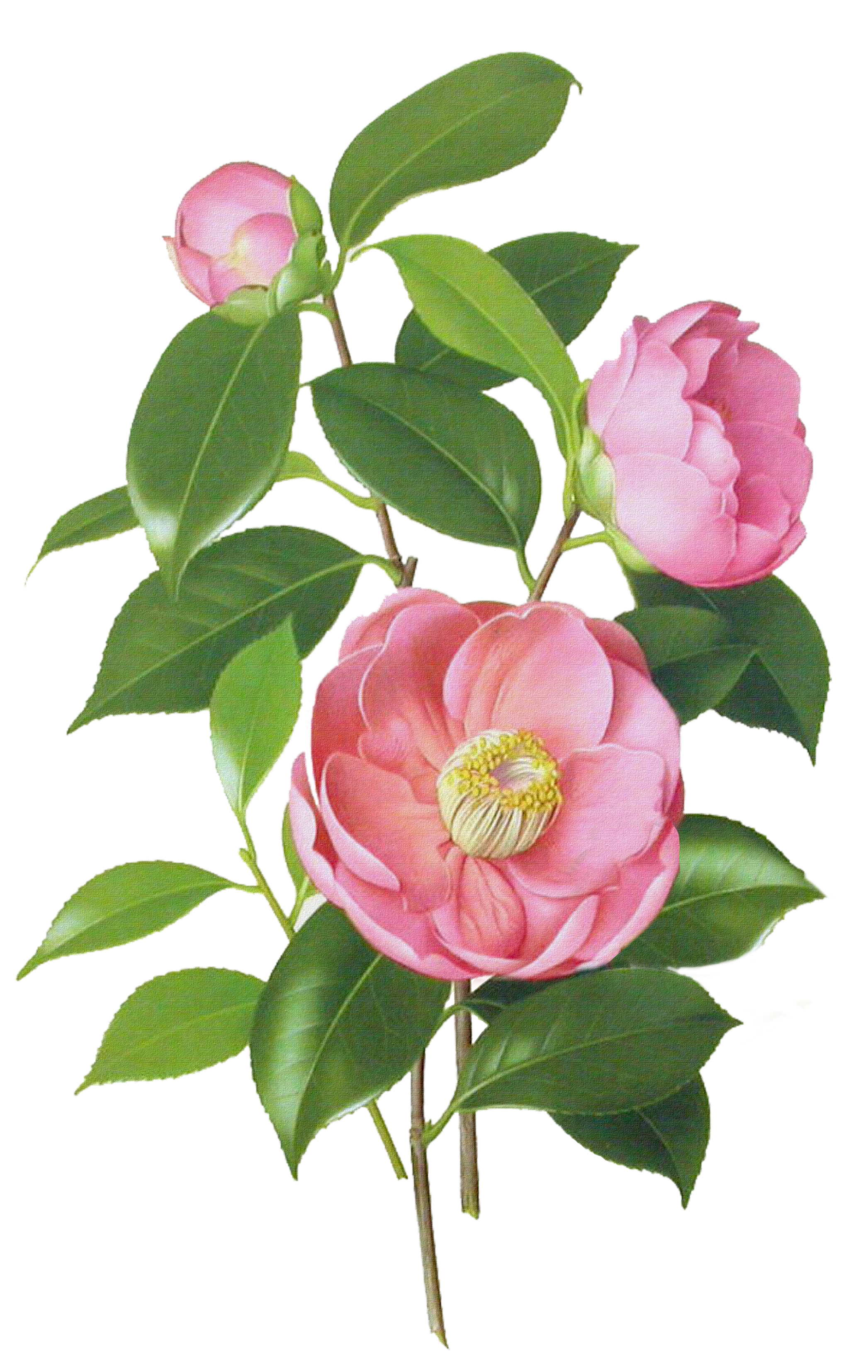 jpg freeuse download Camellia drawing. Japanese watercolor painting botanical