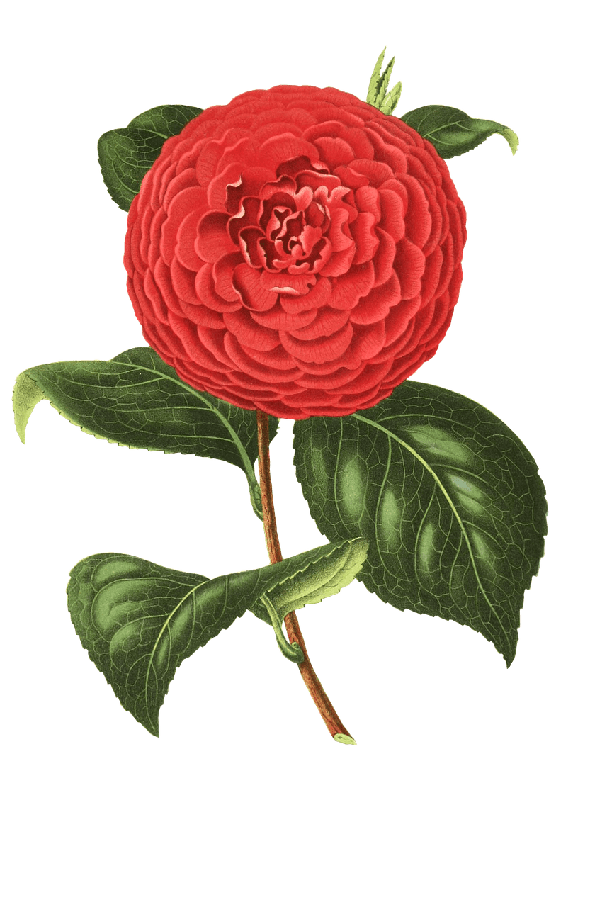 clip transparent library Camellia drawing. Camelia transparent png stickpng
