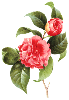 royalty free stock camellia drawing branch #91177300