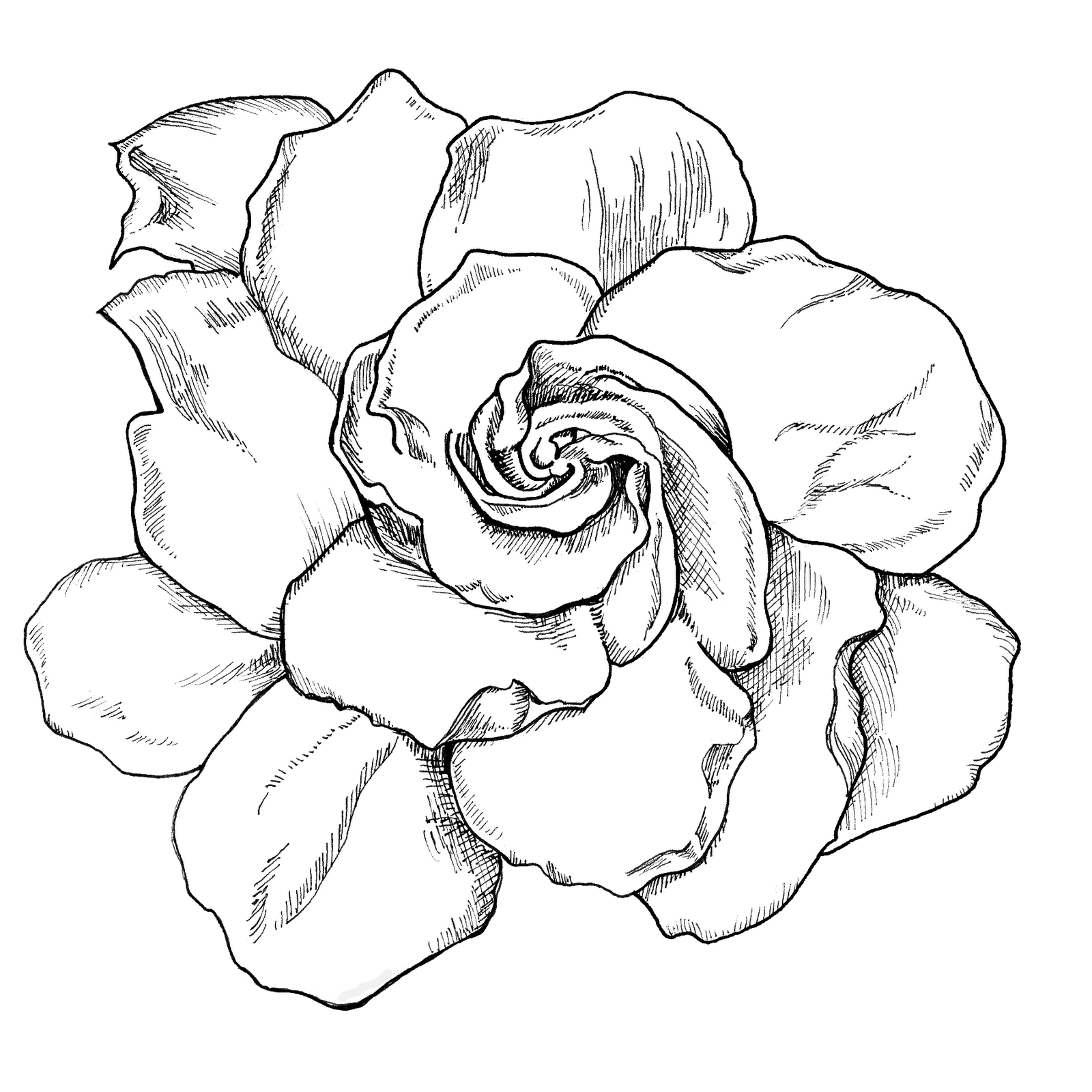 clip black and white Gardenia Drawing at GetDrawings