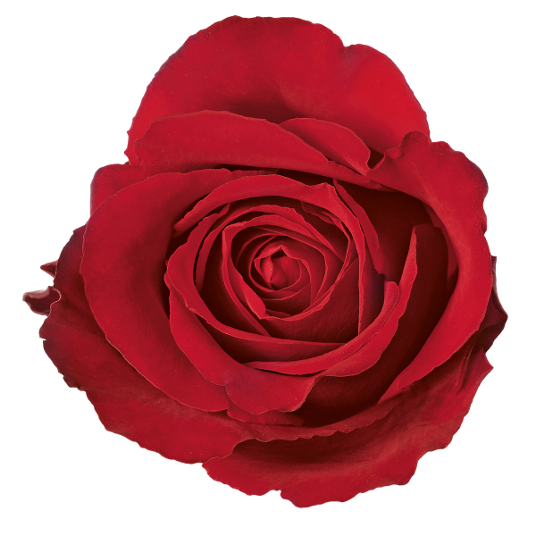 clipart freeuse library rose top view