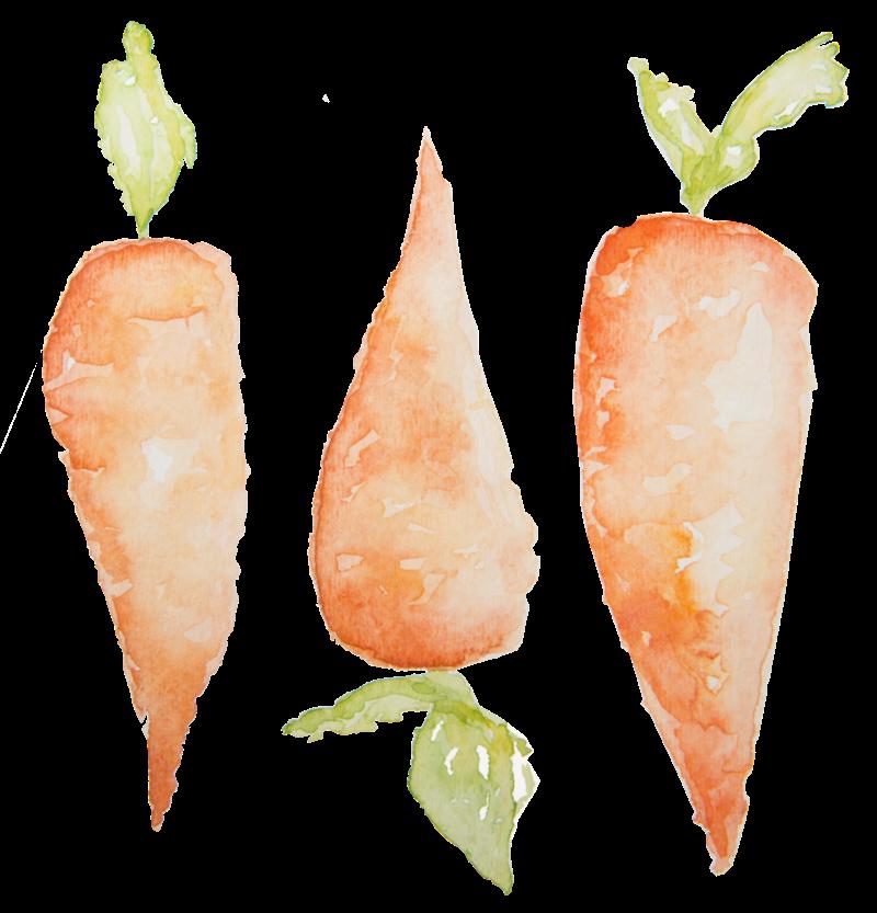 vector freeuse download Carrots Watercolor Design
