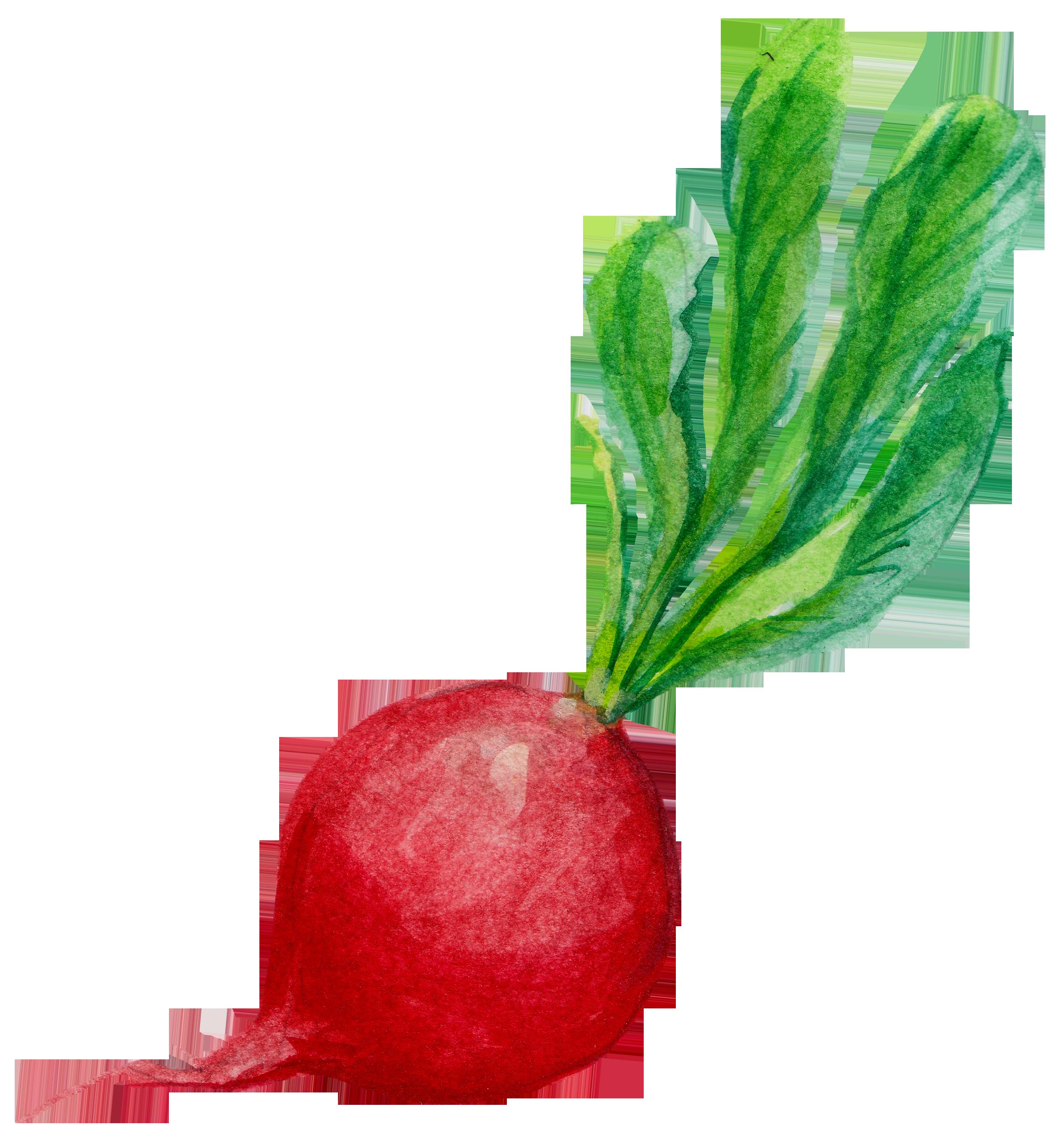 banner free stock Vector carrot hand drawn. Radish clip art painted