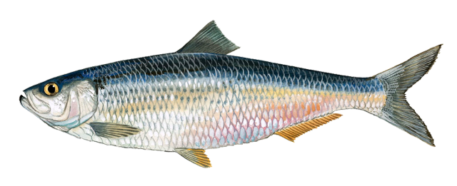 black and white Herring logo free on. Catfish clipart janitor fish.