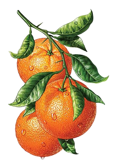 clipart download Oranges png transparency overlay. Celery clipart watercolor.