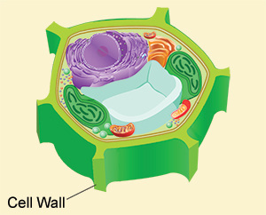 picture Cell wall clipart. Membrane how a is