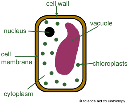 banner free Simple Plant Cell Drawing at GetDrawings