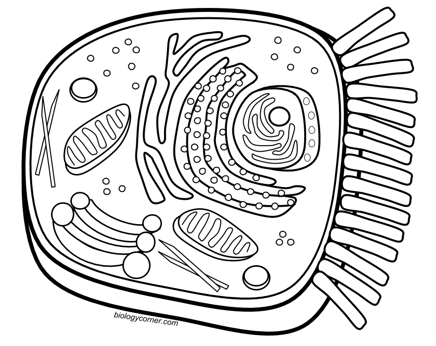 image transparent download Animal cell clipart. Coloring page cells pinterest
