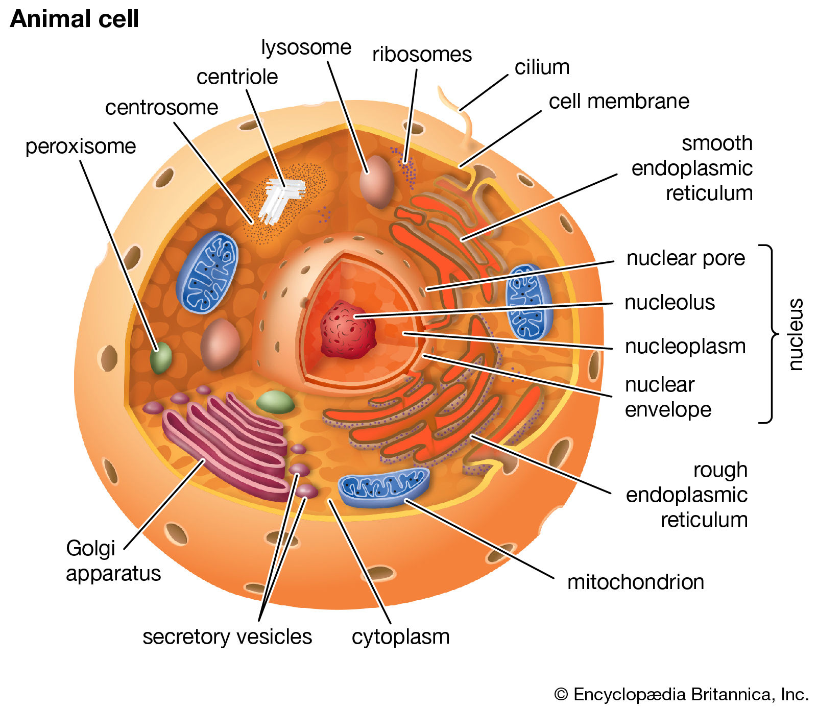 clipart freeuse download eukaryote