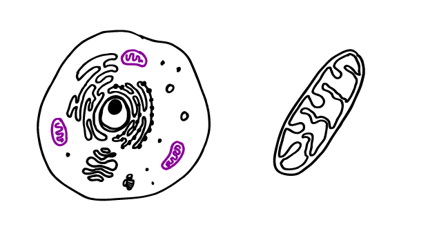 image freeuse download Collection of free Mitochondria drawing