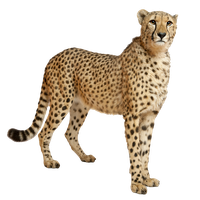 image library Download free png photo. Cheetah clipart.