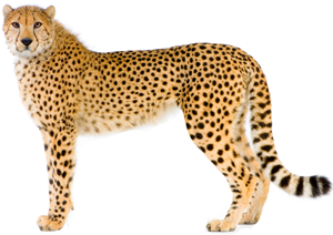 download Cheetah clipart chetah. Download free png transparent.