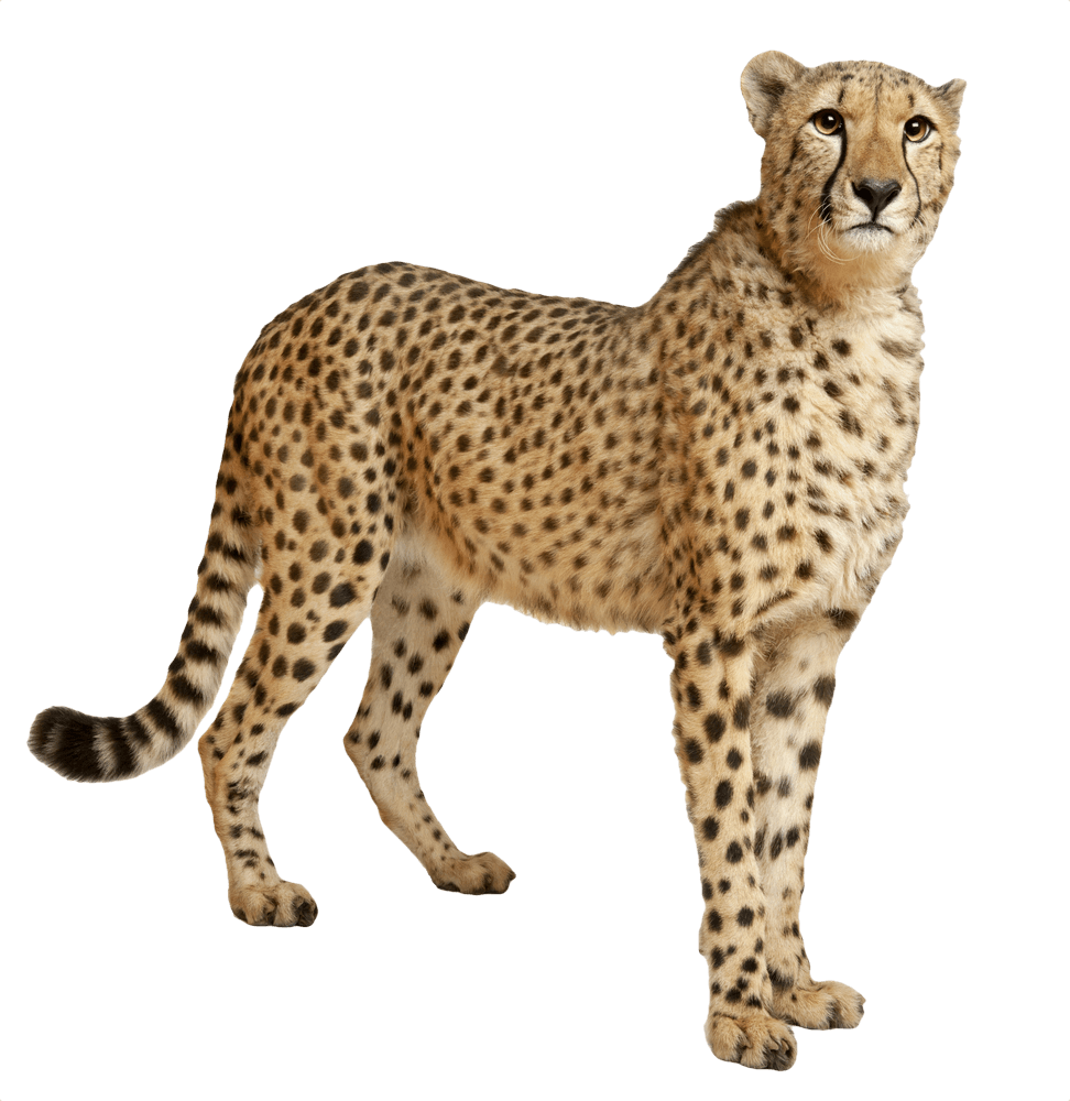 clip black and white library Cheetah Still transparent PNG