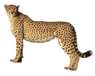 jpg freeuse download Free png image download. Cheetah clipart rainbow.