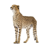 clipart freeuse stock Cheetah clipart rainbow. Download free png photo.