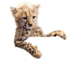 black and white download Cheetah