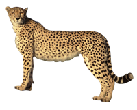 svg royalty free download HQ Cheetah PNG Transparent Cheetah