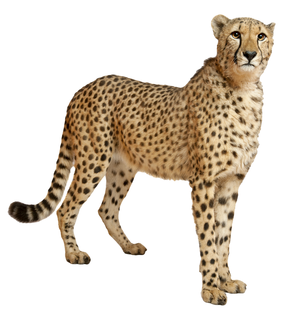 vector royalty free stock Leopard Standing PNG Image