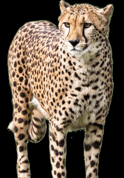 png stock cheetah